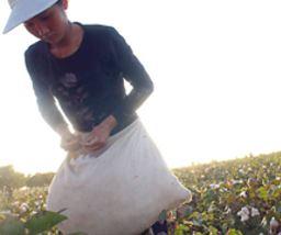 Récolte du coton